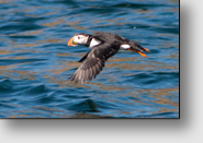 Iceland: Atlantic Puffin